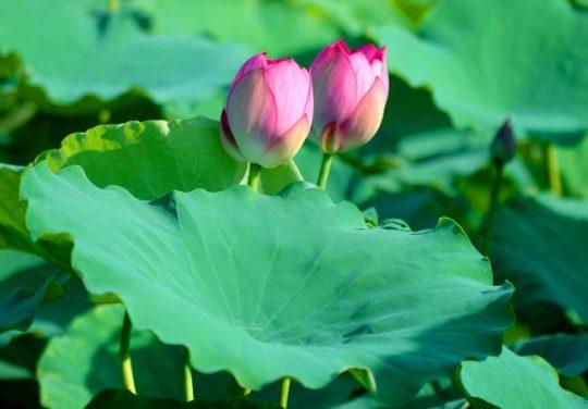 Sen và lá sen là những vị thuốc quý trong Đông y