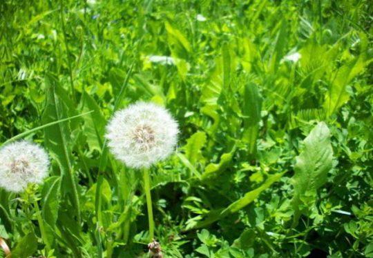 Bồ công anh là loại thảo dược với nhiều công dụng chữa bệnh