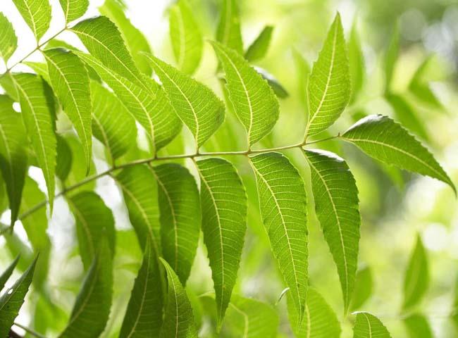 Lá neem Ấn Độ có nhiều công dụng tốt cho sức khỏe