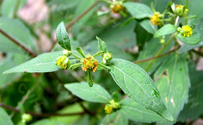 Công dụng cây hy thiêm trong điều trị bệnh gout