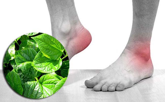 Công dụng lá lốt trong điều trị Gout
