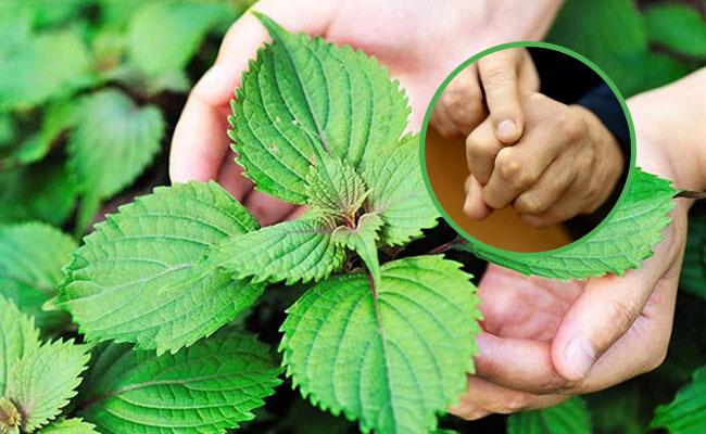 Công dụng lá tía tô trong điều trị bệnh Gout