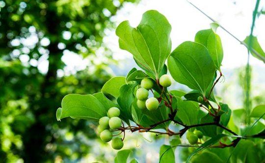 Công dụng cây tỳ giải hỗ trợ chữa bệnh gout