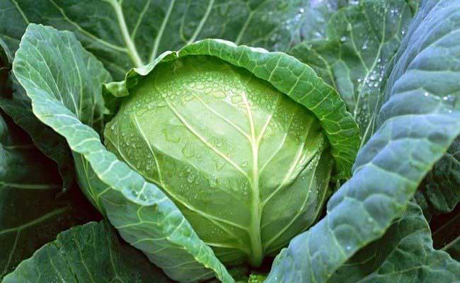 Nhiều bệnh nhân đau dạ dày đã sử dụng bắp cải và đạt hiệu quả tốt