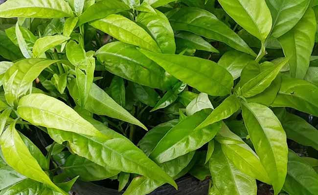 Hoàn ngọc là một trong những loài cây quý giúp chữa dạ dày