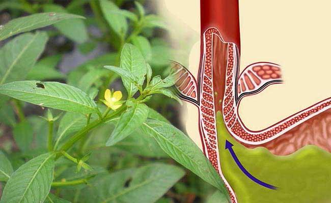 Cây rau mương có thể hỗ trợ điều trị chứng trào ngược dạ dày