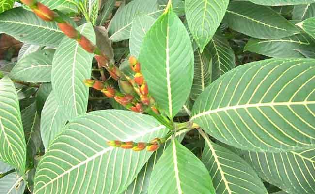 Trong các cách dùng lá cây chữa bệnh dạ dày thì lá cây xăng sê là một trong những bài thuốc hiệu nghiệm nhất