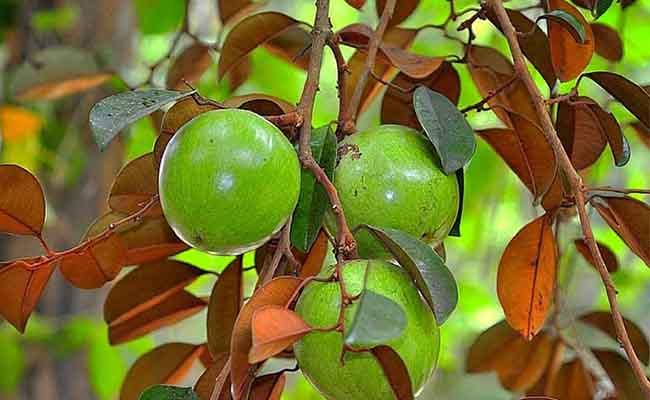 Cây vữa sữa không chỉ cho những trái quả thơm ngon mà lá của nó còn là một vị thuốc chữa nhiều bệnh