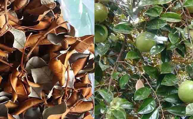 Phơi lá vú sữa đến khi lá ngả màu và sờ thấy ráp là có thể mang đi sắc nước uống