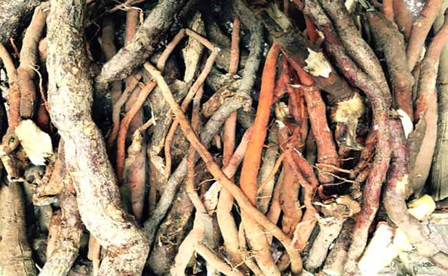 rễ cây cau