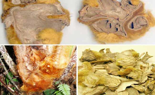 Củ cây cẩu tích thường được sử dụng để làm thuốc