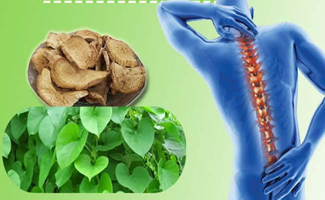Sử dụng loại cây trên hỗ trợ điều trị bệnh lý xương khớp hiệu quả