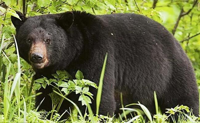 mật gấu