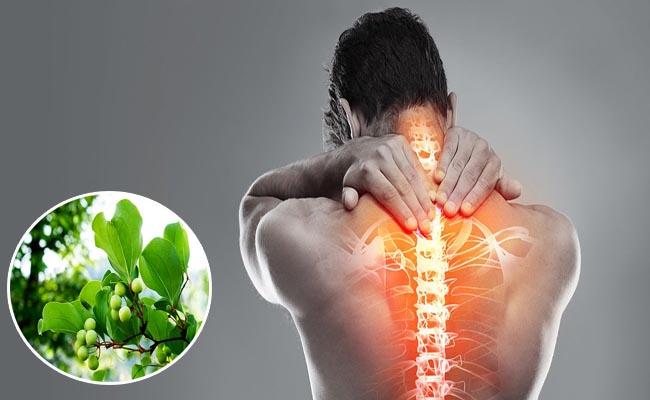 Cây thuốc tỳ giải xuất hiện trong nhiều bài thuốc chữa bệnh xương khớp