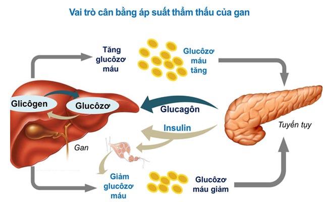 Glucose đóng vai trò quan trọng đối với cơ thể con người
