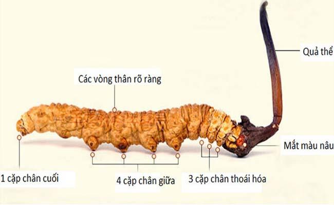 Đặc điểm nhận dạng Đông trùng hạ thảo Trung Quốc