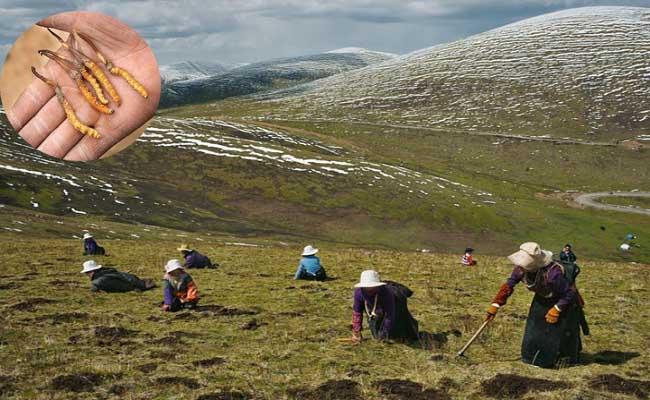 Tây Tạng là vùng có điều kiện thích hợp cho Đông trùng hạ thảo phát triển