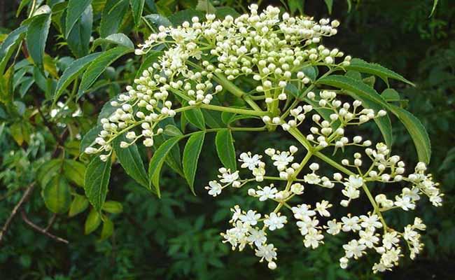Hoa cây sầu đâu rừng