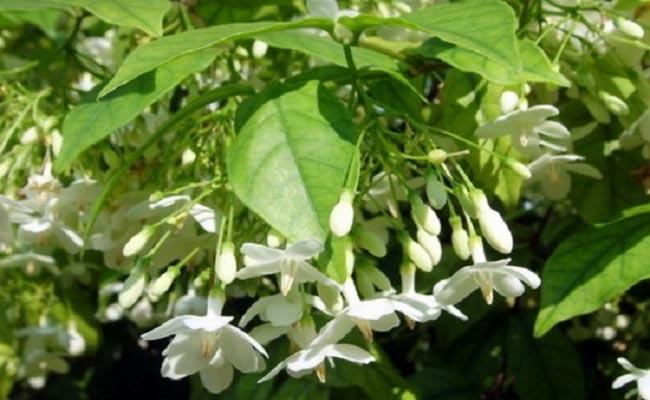 Mộc hoa trắng