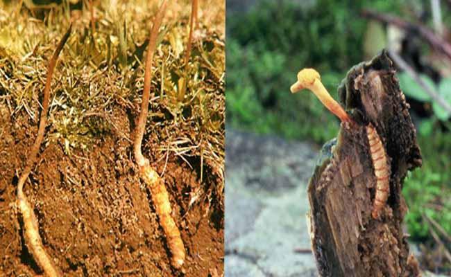 Đông trùng hạ thảo tự nhiên có ở vùng núi cao Tây Tạng