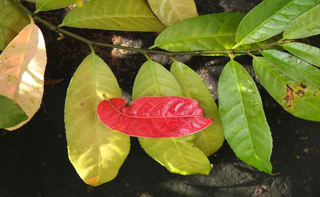 Tác dụng chữa bệnh của cây đơn đỏ