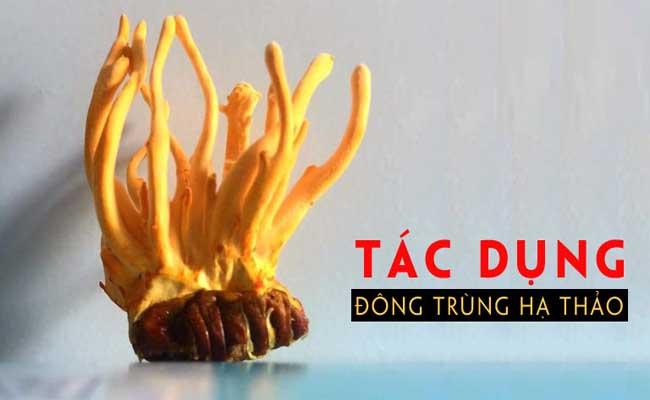 Đông trùng hạ thảo Việt Nam có nhiều tác dụng tuyệt vời