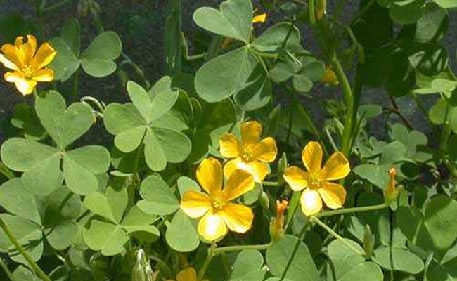 chua me đất hoa vàng