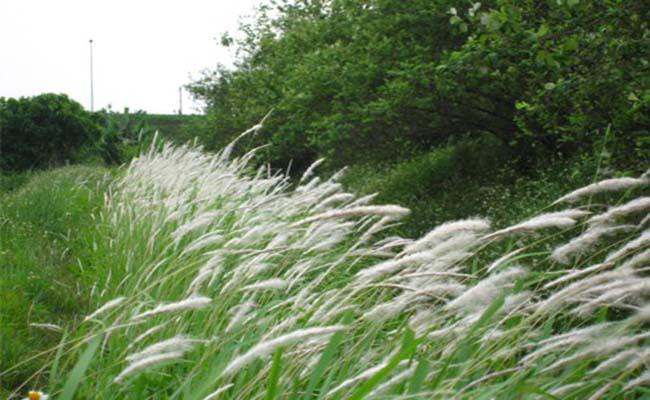 Công dụng của cỏ may