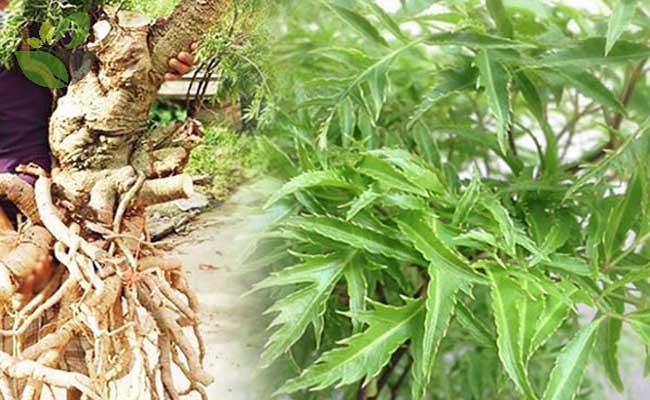 Bệnh nhân đau thần kinh tọa nên tìm đến cây đinh lăng